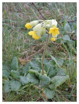 http://www.opsbirding.co.uk/Cowslips17.jpg